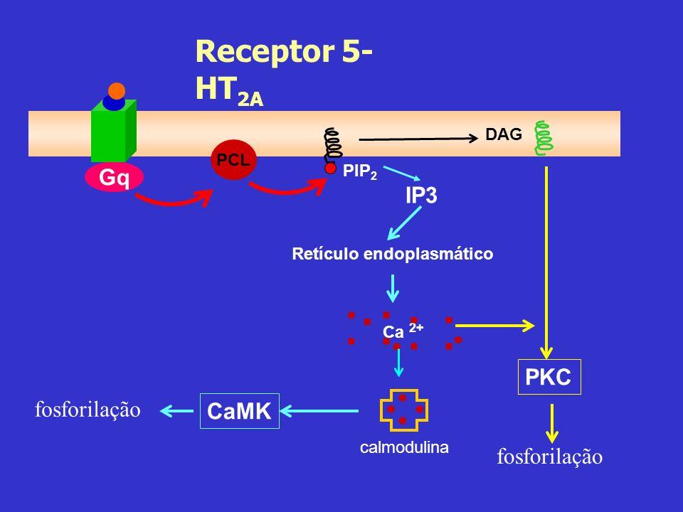 Gq PCL PIP 2 DAG IP3 Retículo endoplasmático Ca 2+ :....... calmodulina CaMK fosforilação PKC Receptor 5- HT 2A fosforilação