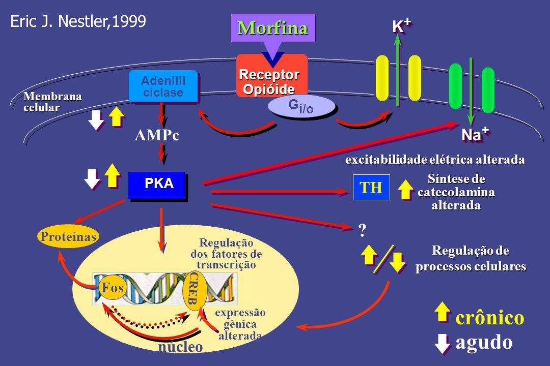 Adenilil ciclase PKA Receptor Opióide Morfina K+K+K+K+ K+K+K+K+ Na + G i/o AMPc Fos CREB Proteínas expressão gênica alterada Regulação dos fatores de