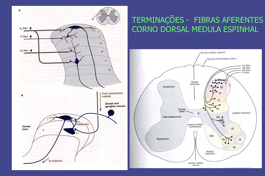 NEUROTRANSMISSORES DA MEDIAÇÃO DA DOR CORNO DORSAL DA MEDULA ESPINHAL – FIBRA