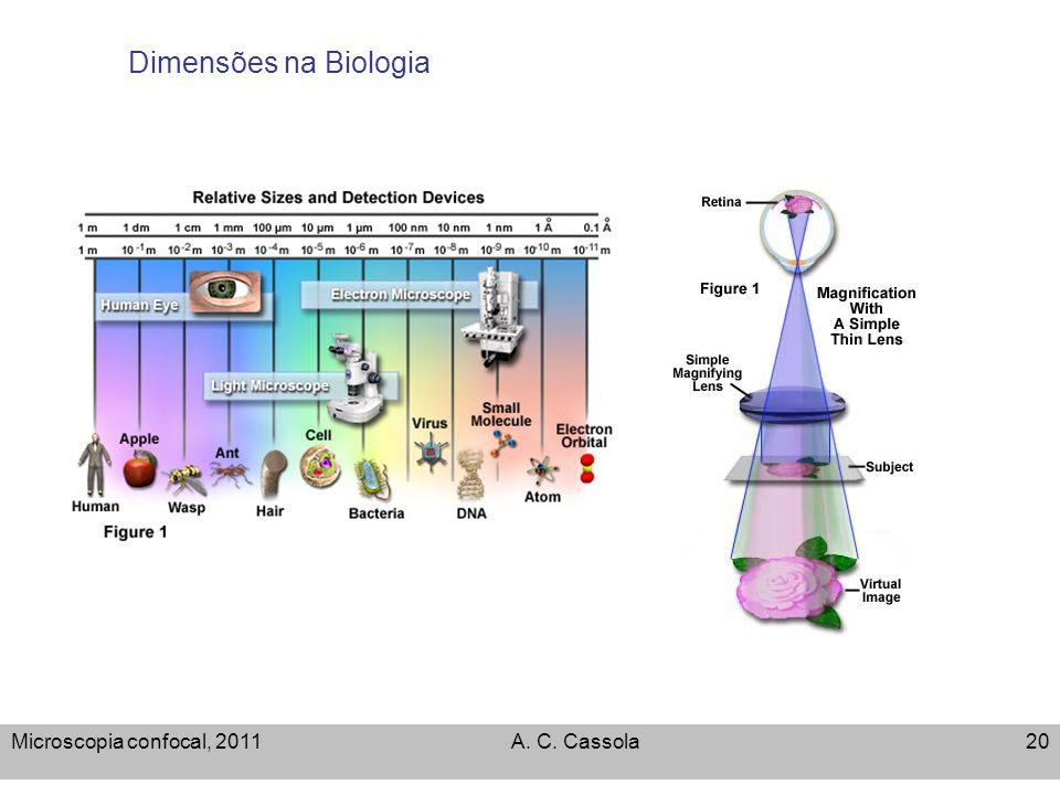 Microscopia confocal, 2011A. C. Cassola20 Dimensões na Biologia