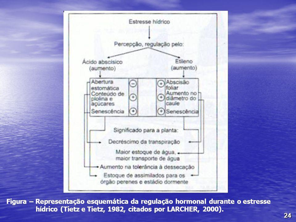 24 Figura – Representação esquemática da regulação hormonal durante o estresse hídrico (Tietz e Tietz, 1982, citados por LARCHER, 2000).