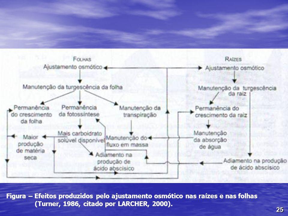 25 Figura – Efeitos produzidos pelo ajustamento osmótico nas raízes e nas folhas (Turner, 1986, citado por LARCHER, 2000).