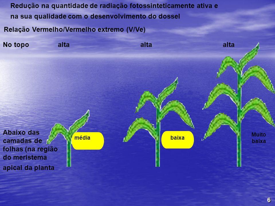 6 Redução na quantidade de radiação fotossinteticamente ativa e na sua qualidade com o desenvolvimento do dossel Relação Vermelho/Vermelho extremo (V/