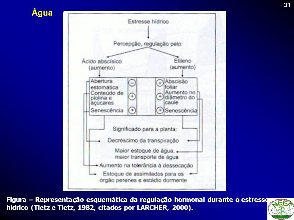 31 Figura – Representação esquemática da regulação hormonal durante o estresse hídrico (Tietz e Tietz, 1982, citados por LARCHER, 2000). Água