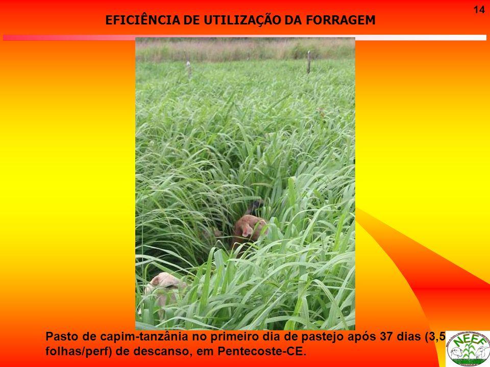 14 Pasto de capim-tanzânia no primeiro dia de pastejo após 37 dias (3,5 folhas/perf) de descanso, em Pentecoste-CE. EFICIÊNCIA DE UTILIZAÇÃO DA FORRAG