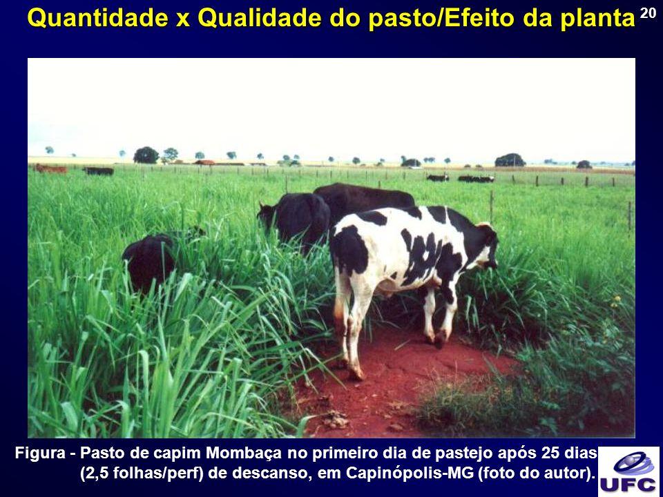 20 Figura - Pasto de capim Mombaça no primeiro dia de pastejo após 25 dias (2,5 folhas/perf) de descanso, em Capinópolis-MG (foto do autor). Quantidad