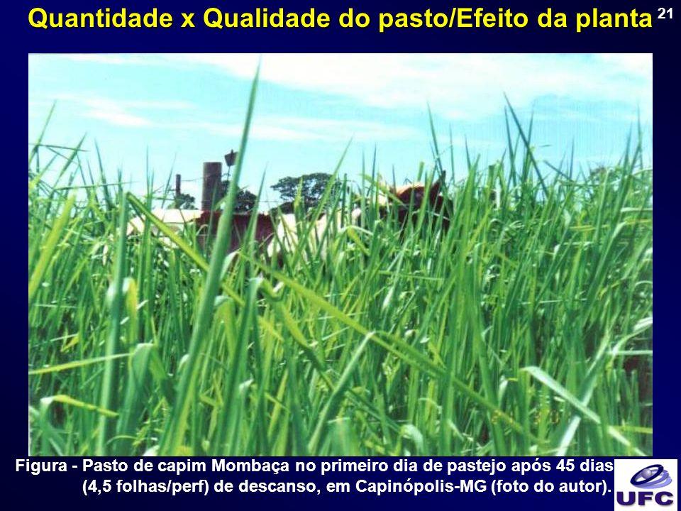 21 Figura - Pasto de capim Mombaça no primeiro dia de pastejo após 45 dias (4,5 folhas/perf) de descanso, em Capinópolis-MG (foto do autor). Quantidad
