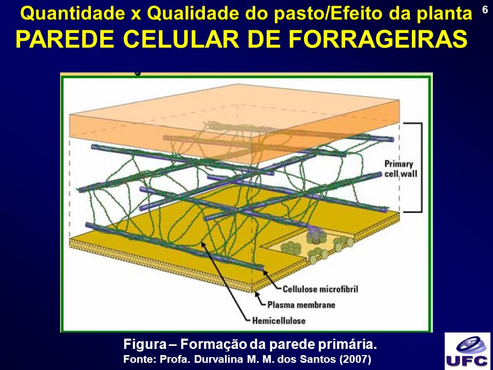 6 Figura – Formação da parede primária. Fonte: Profa. Durvalina M. M. dos Santos (2007) PAREDE CELULAR DE FORRAGEIRAS Quantidade x Qualidade do pasto/