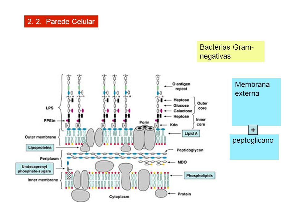 2. 2. Parede Celular Bactérias Gram- negativas Membrana externa peptoglicano +