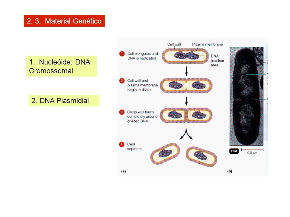 2. 3. Material Genético 1. Nucleóide: DNA Cromossomal 2. DNA Plasmidial