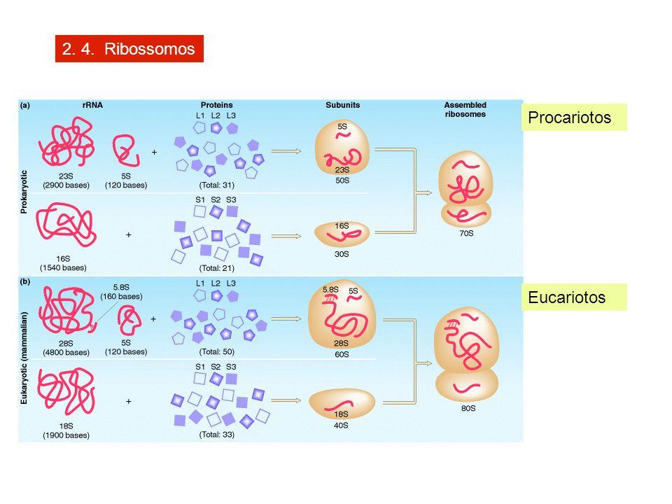 2. 4. Ribossomos Procariotos Eucariotos