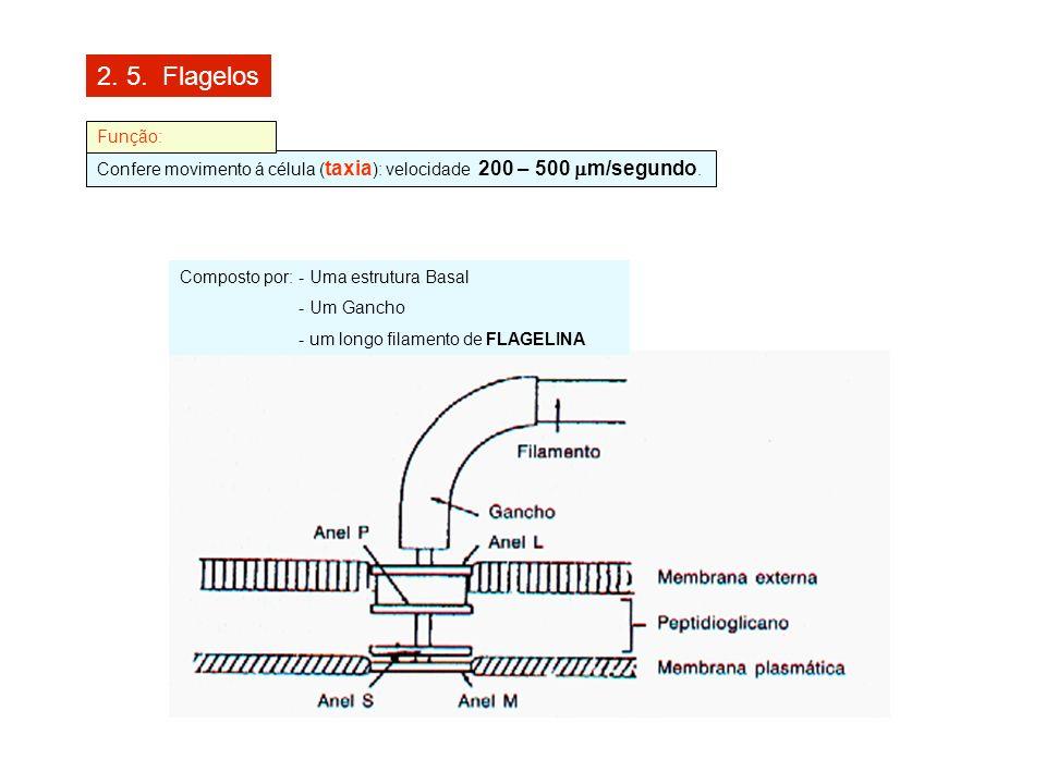 2. 5. Flagelos Confere movimento á célula ( taxia ): velocidade 200 – 500 m/segundo. Função: Composto por: - Uma estrutura Basal - Um Gancho - um long