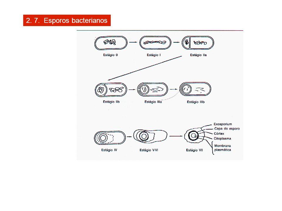 2. 7. Esporos bacterianos