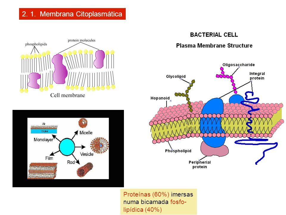 2. 1. Membrana Citoplasmática Proteínas (60%) imersas numa bicamada fosfo- lipídica (40%)