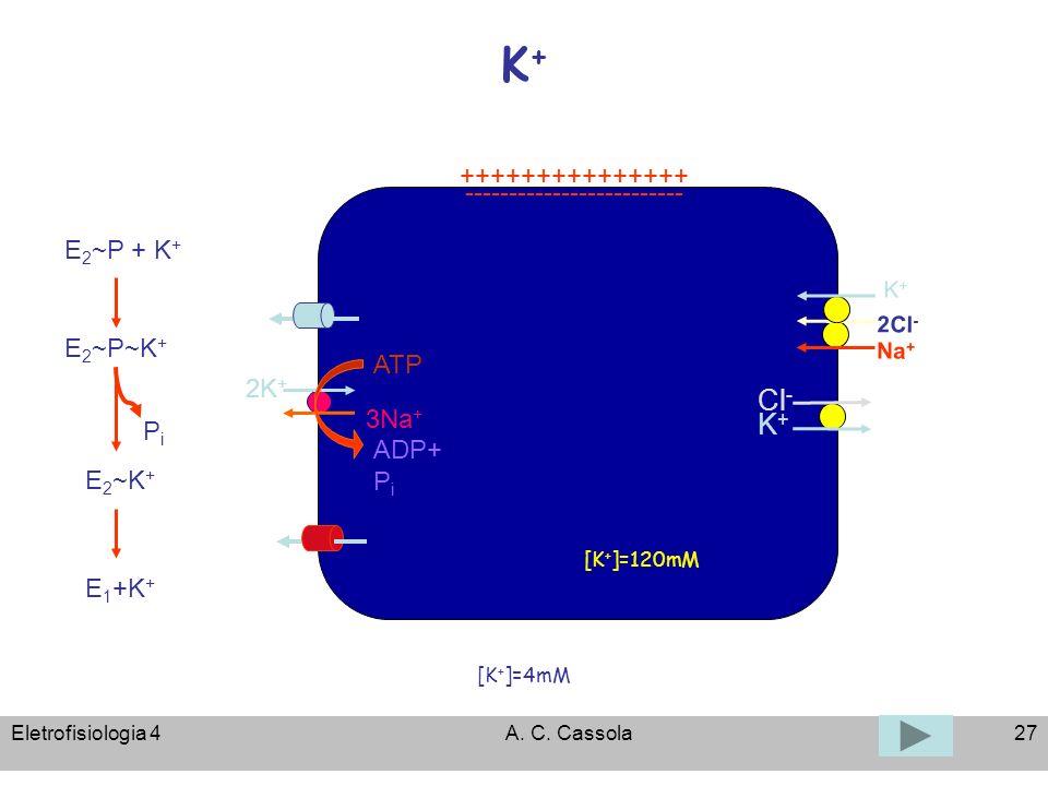 Eletrofisiologia 4A. C. Cassola27 K+K+ [K + ]=120mM [K + ]=4mM ATP 3Na + 2K + ADP+ P i +++++++++++++++ ------------------------- K+K+ Cl - 2Cl - Na +