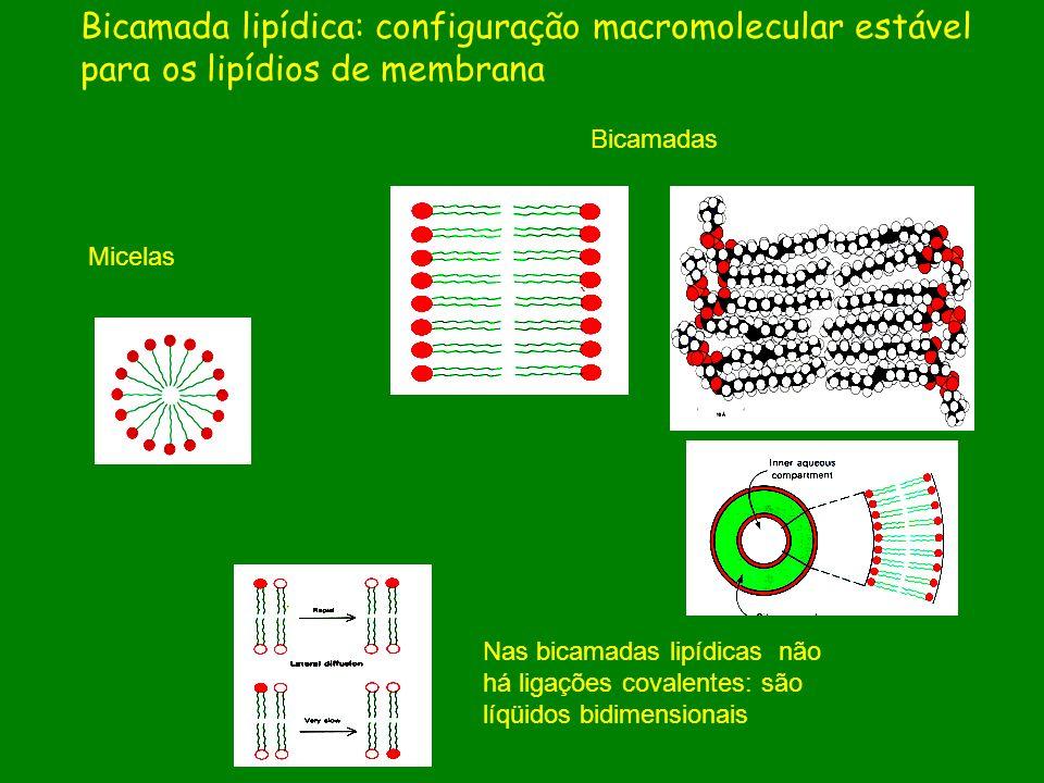 Micelas Bicamadas Nas bicamadas lipídicas não há ligações covalentes: são líqüidos bidimensionais Bicamada lipídica: configuração macromolecular estáv