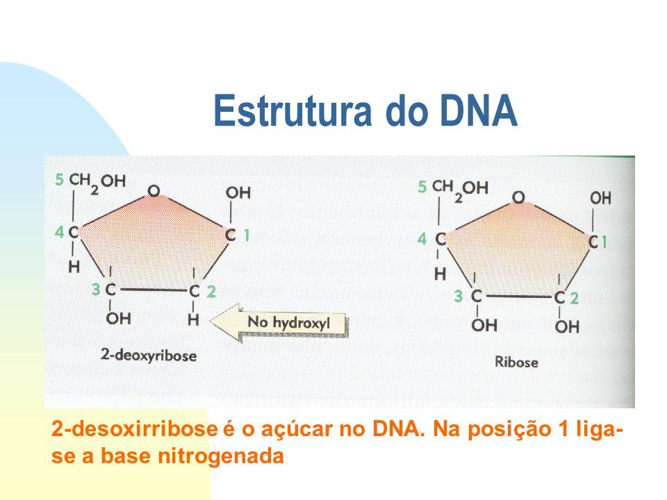 Estrutura do DNA 2-desoxirribose é o açúcar no DNA. Na posição 1 liga- se a base nitrogenada