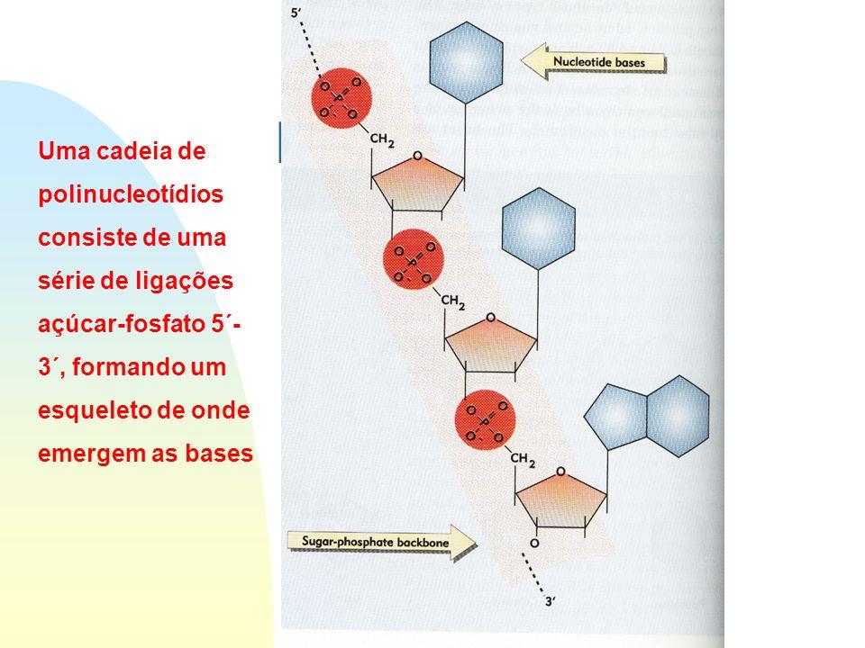 Estrutura do DNA Uma cadeia de polinucleotídios consiste de uma série de ligações açúcar-fosfato 5´- 3´, formando um esqueleto de onde emergem as bases