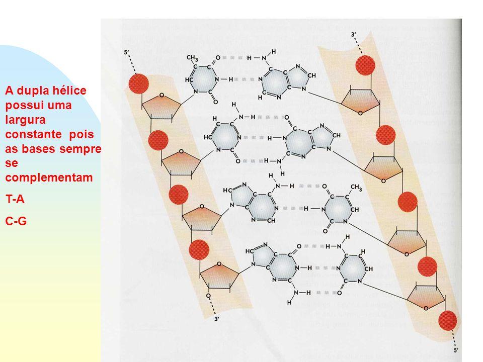 Estrutura do DNA A dupla hélice possui uma largura constante pois as bases sempre se complementam T-A C-G