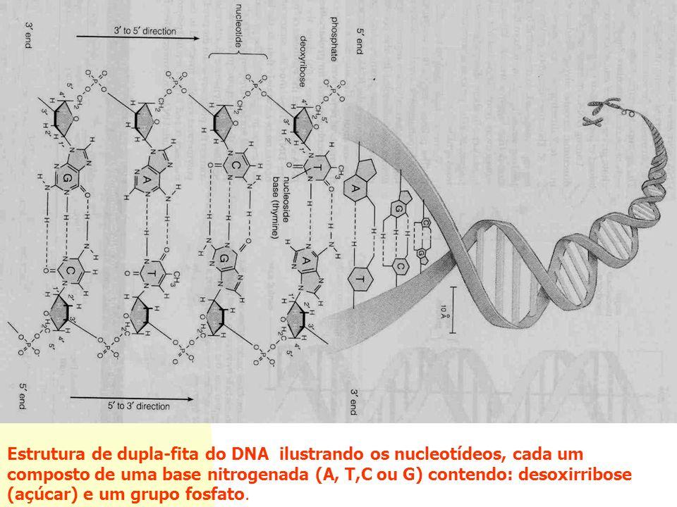 Estrutura do DNA Estrutura de dupla-fita do DNA ilustrando os nucleotídeos, cada um composto de uma base nitrogenada (A, T,C ou G) contendo: desoxirribose (açúcar) e um grupo fosfato.