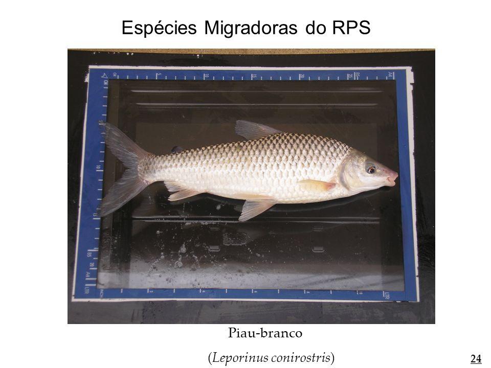 curimatã (Prochilodus lineatus) 25