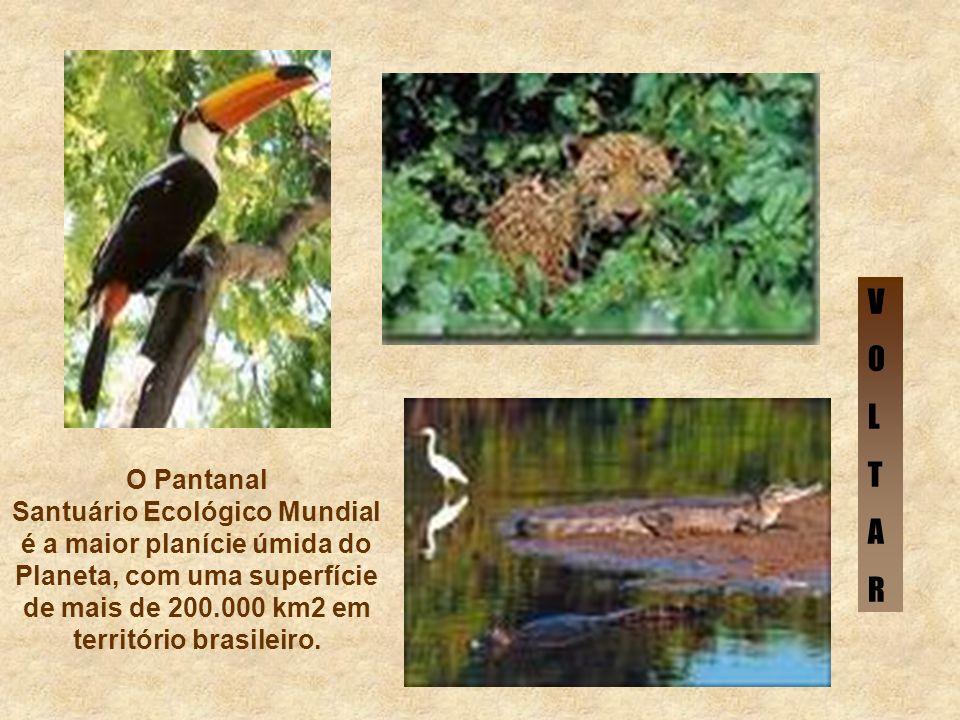 O Pantanal Santuário Ecológico Mundial é a maior planície úmida do Planeta, com uma superfície de mais de 200.000 km2 em território brasileiro. VOLTAR