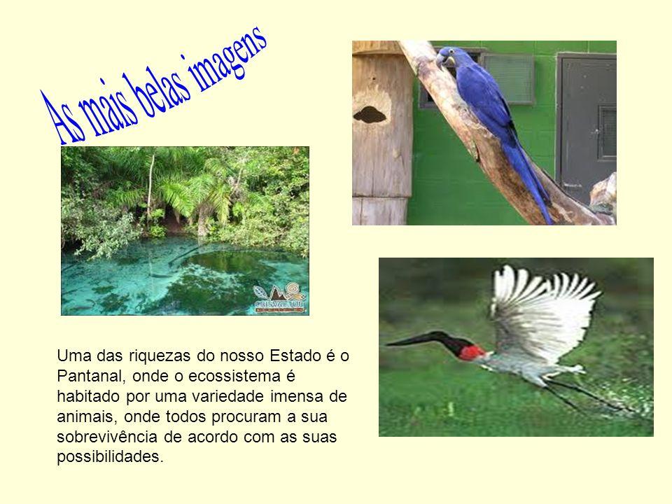 Uma das riquezas do nosso Estado é o Pantanal, onde o ecossistema é habitado por uma variedade imensa de animais, onde todos procuram a sua sobrevivên