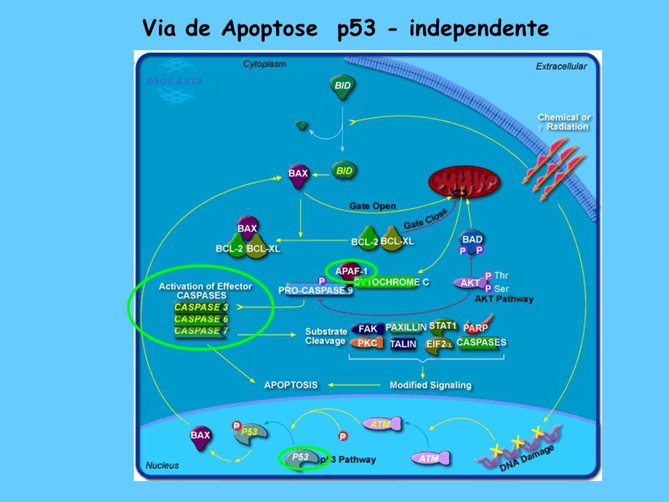Via de Apoptose p53 - independente