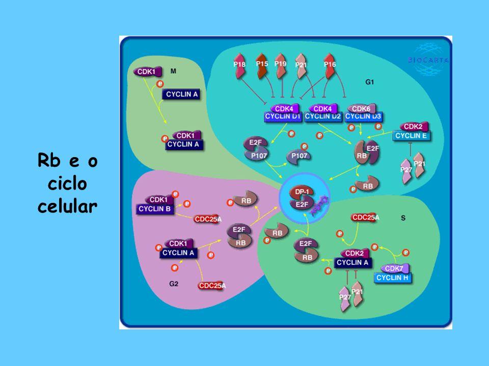 Rb – Modelo mais real 3 proteínas do tipo pocket – pRB, p107, p130 6 membros da família E2F 2 membros da família DP repressão ativação