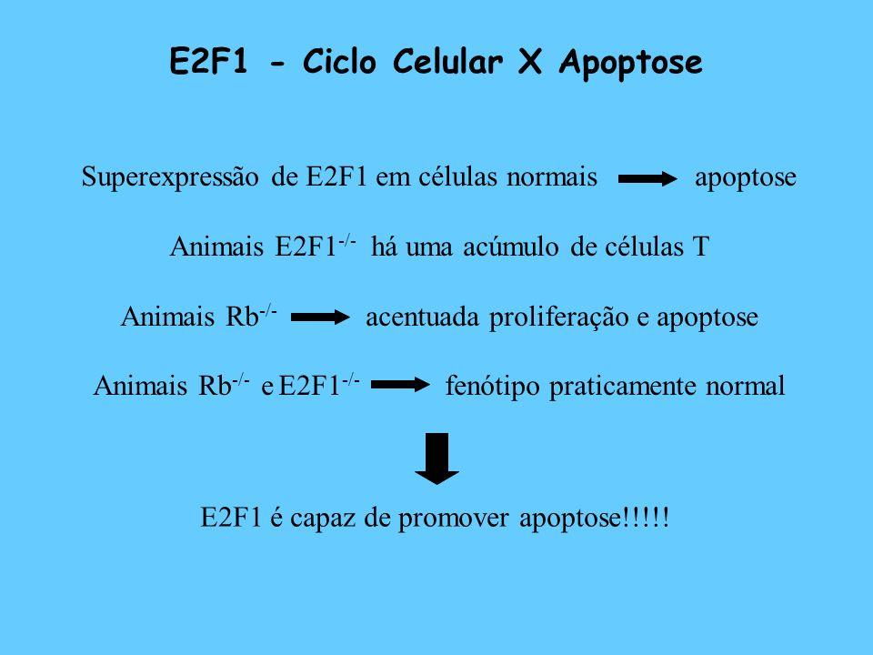 E2F1 - Ciclo Celular X Apoptose Superexpressão de E2F1 em células normais apoptose Animais E2F1 -/- há uma acúmulo de células T Animais Rb -/- acentua
