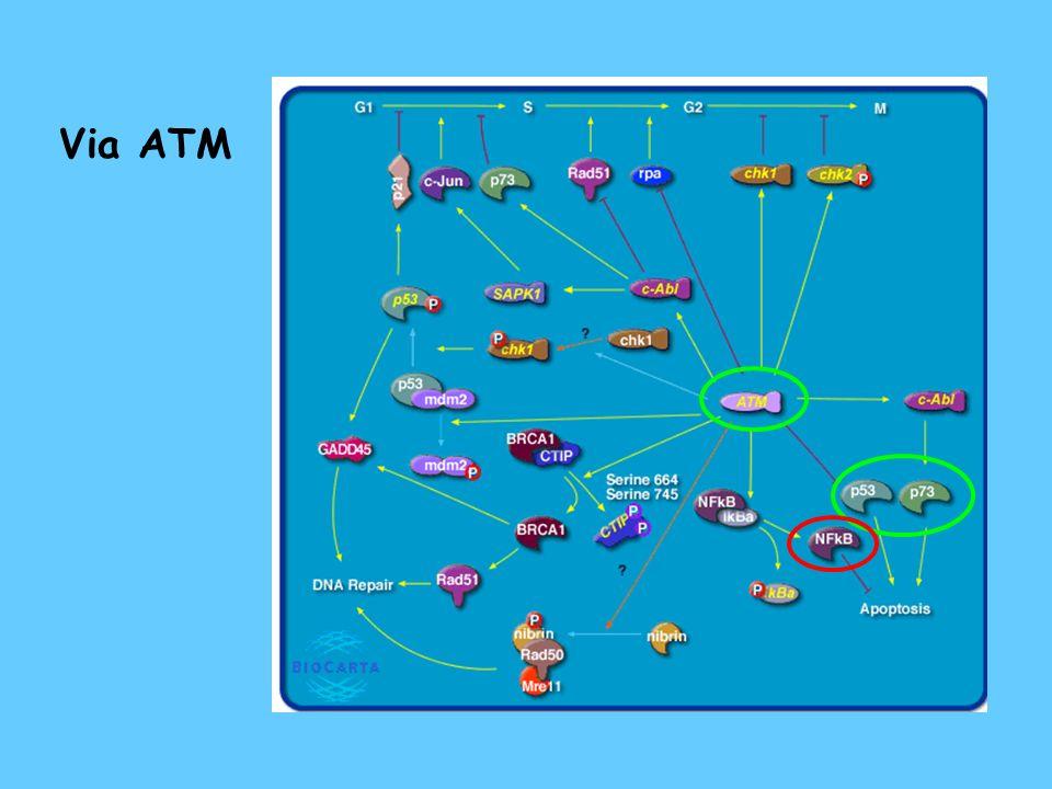 Apoptose mediada por E2F1 (p53 – dependente) complexa com cyc A e liga diretamente a p53 ativa a transcrição de ARF ativa a via de ATM
