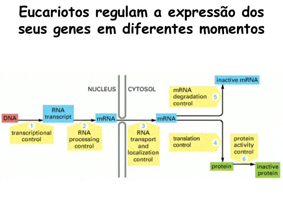 Eucariotos regulam a expressão dos seus genes em diferentes momentos