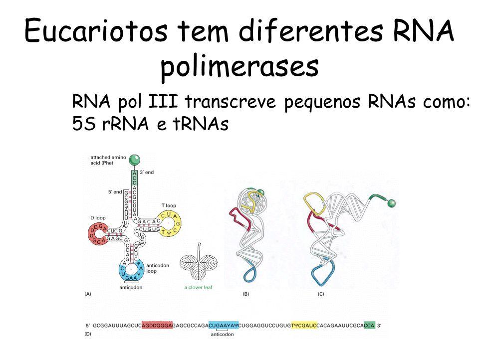 Eucariotos tem diferentes RNA polimerases RNA pol III transcreve pequenos RNAs como: 5S rRNA e tRNAs