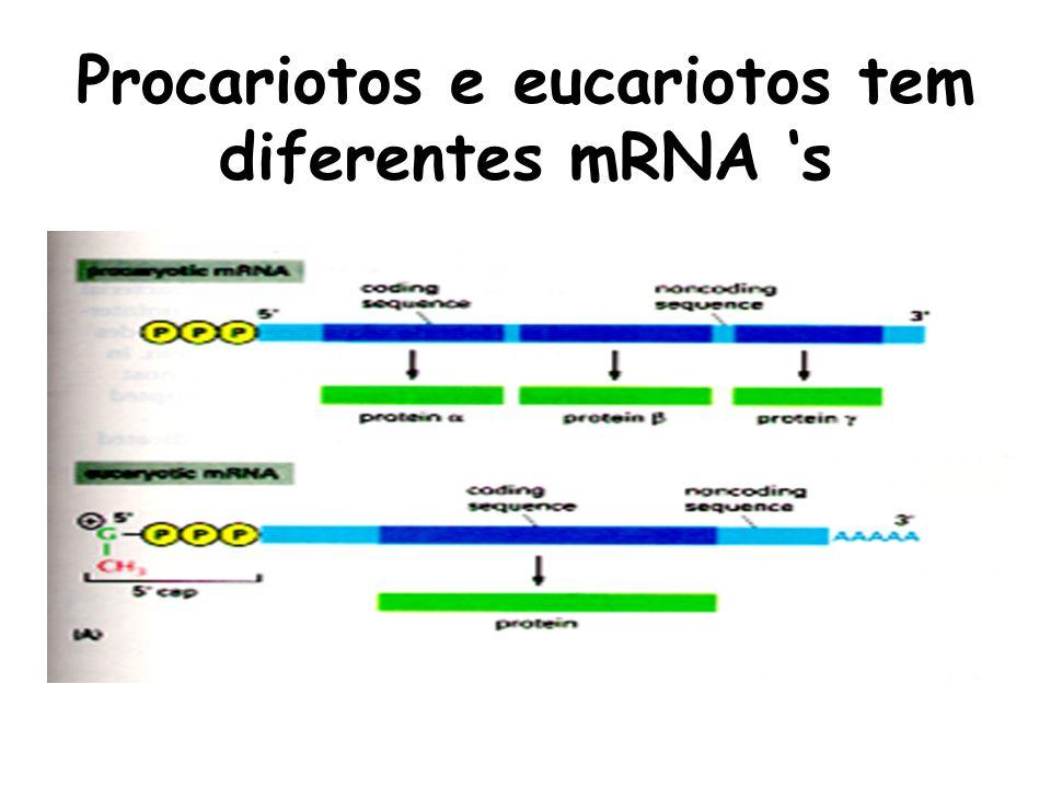 Procariotos e eucariotos tem diferentes mRNA s
