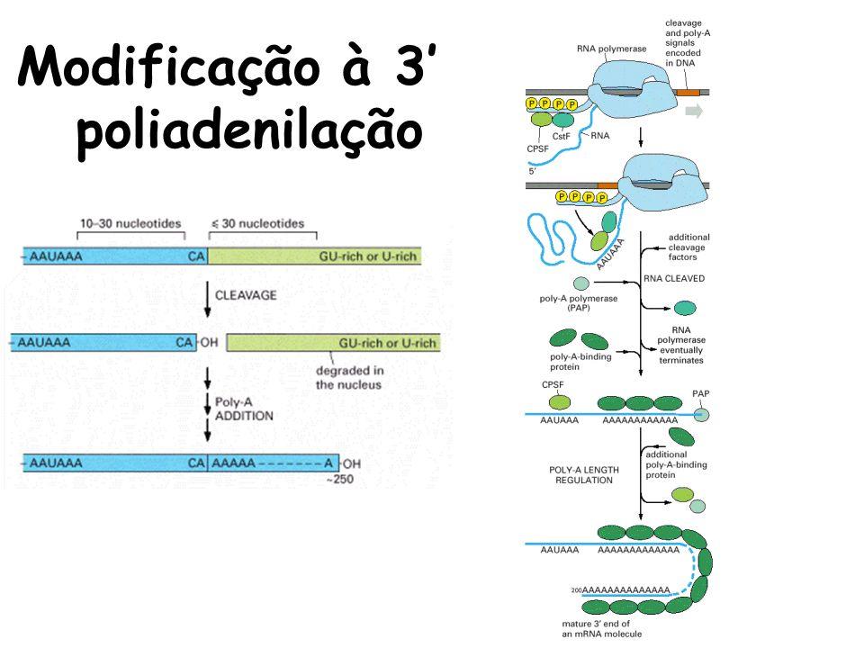 Modificação à 3 poliadenilação