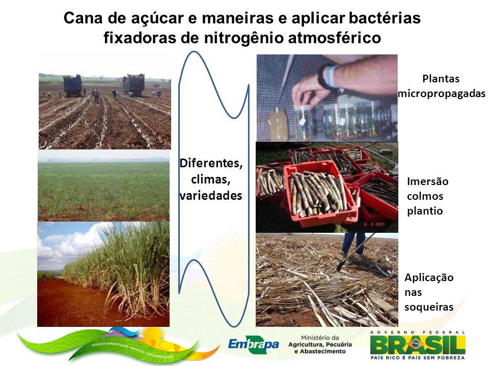 Cana de açúcar e maneiras e aplicar bactérias fixadoras de nitrogênio atmosférico Plantas micropropagadas Imersão colmos plantio Aplicação nas soqueiras Diferentes, climas, variedades