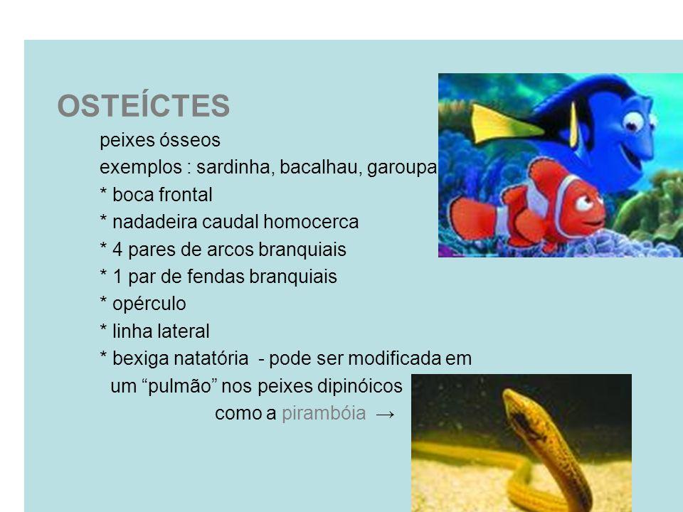 OSTEÍCTES peixes ósseos exemplos : sardinha, bacalhau, garoupa * boca frontal * nadadeira caudal homocerca * 4 pares de arcos branquiais * 1 par de fe