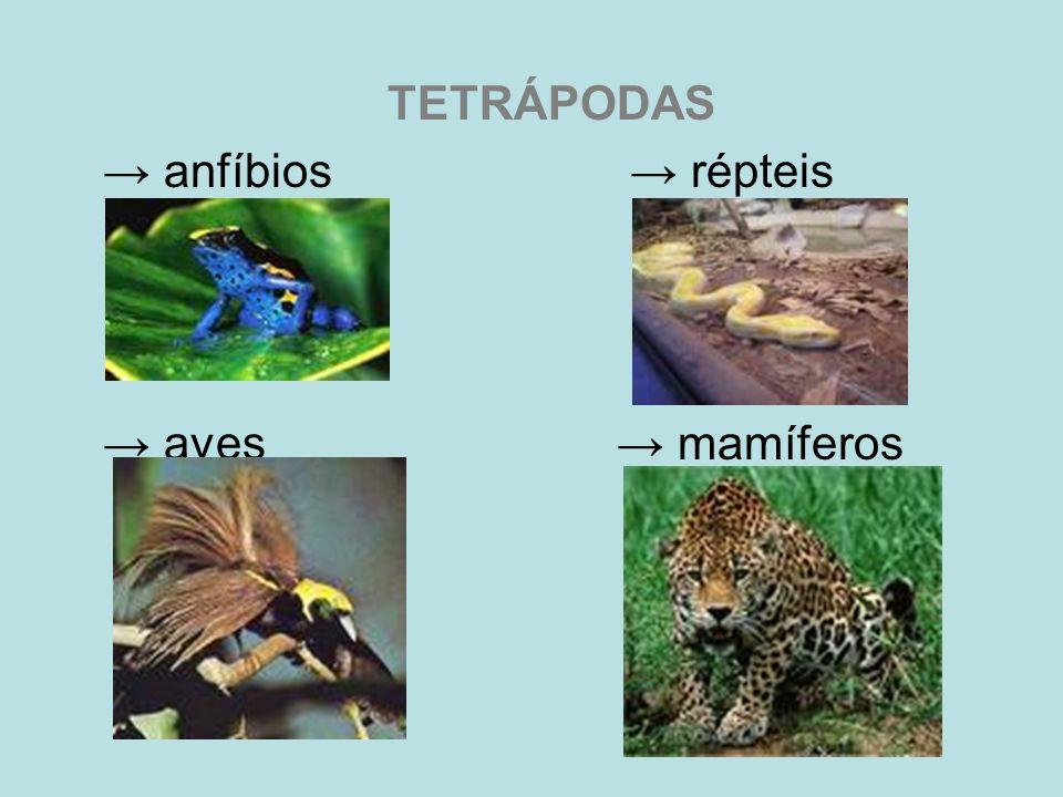 TETRÁPODAS anfíbios répteis aves mamíferos