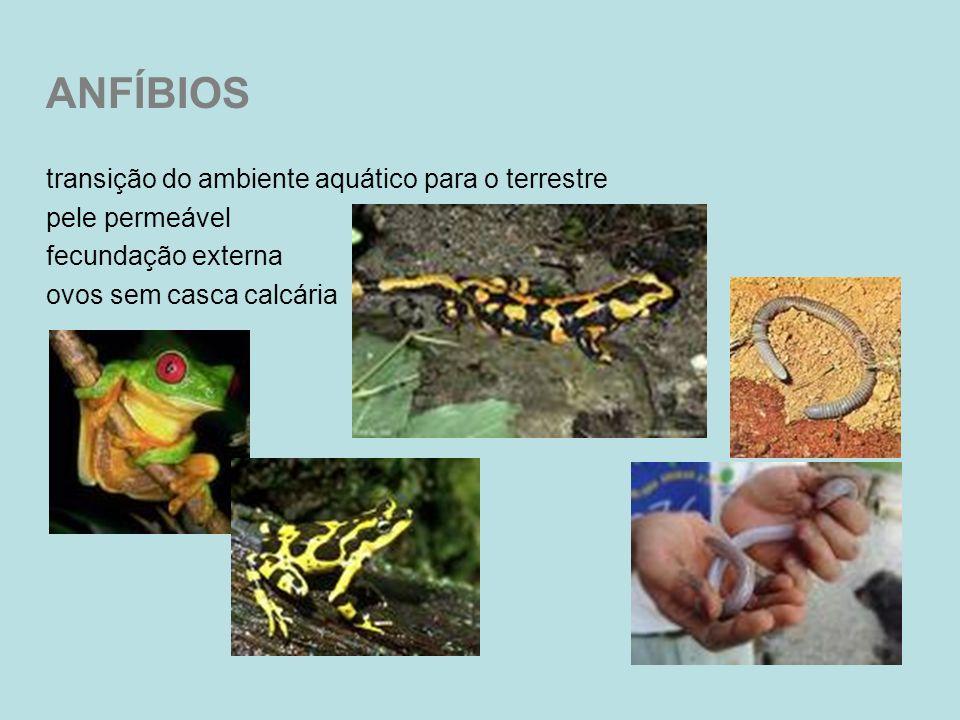 ANFÍBIOS transição do ambiente aquático para o terrestre pele permeável fecundação externa ovos sem casca calcária