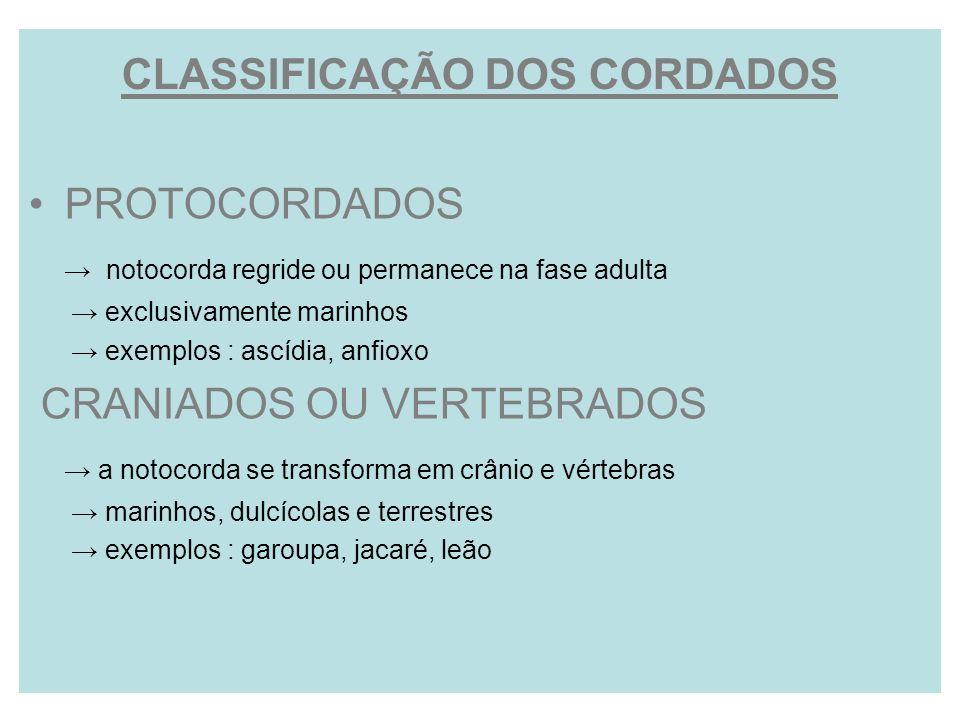 CLASSIFICAÇÃO DOS CORDADOS PROTOCORDADOS notocorda regride ou permanece na fase adulta exclusivamente marinhos exemplos : ascídia, anfioxo CRANIADOS O