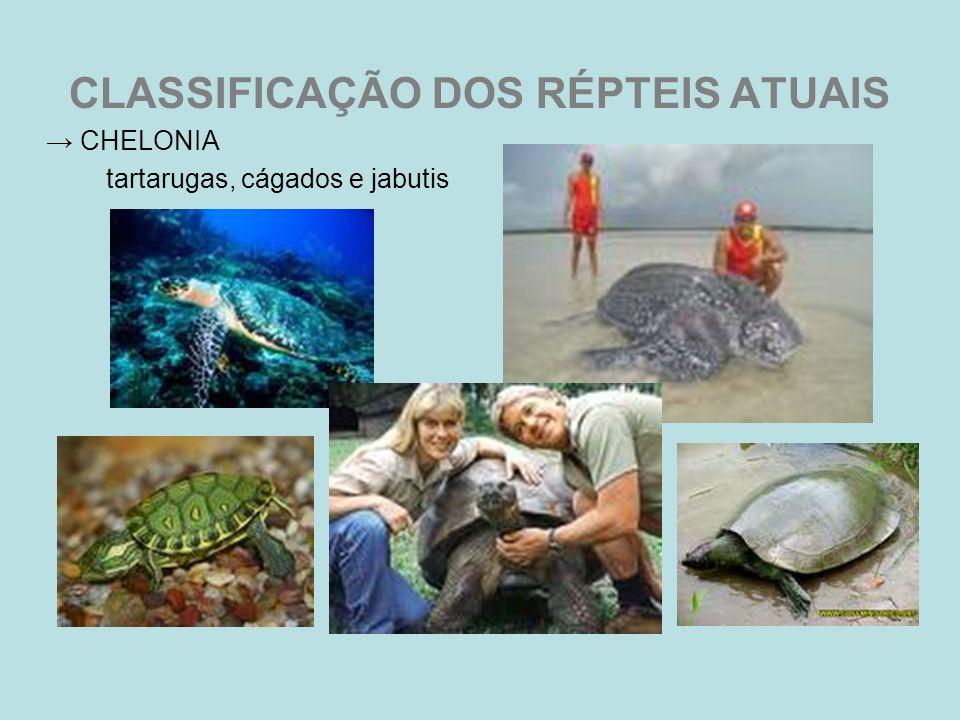 CLASSIFICAÇÃO DOS RÉPTEIS ATUAIS CHELONIA tartarugas, cágados e jabutis