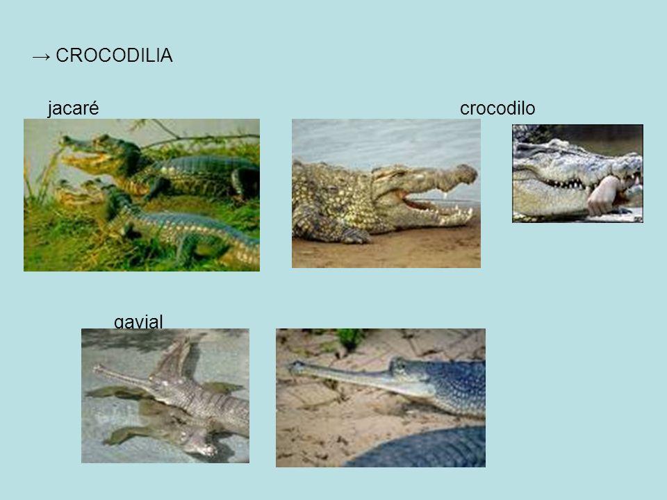 CROCODILIA jacaré crocodilo gavial