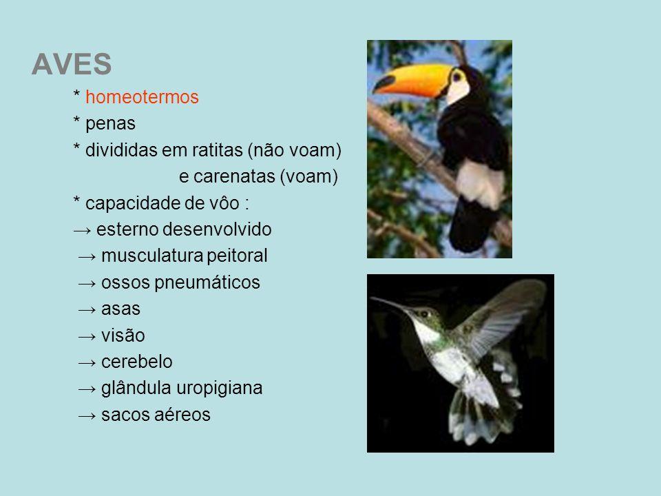 AVES * homeotermos * penas * divididas em ratitas (não voam) e carenatas (voam) * capacidade de vôo : esterno desenvolvido musculatura peitoral ossos