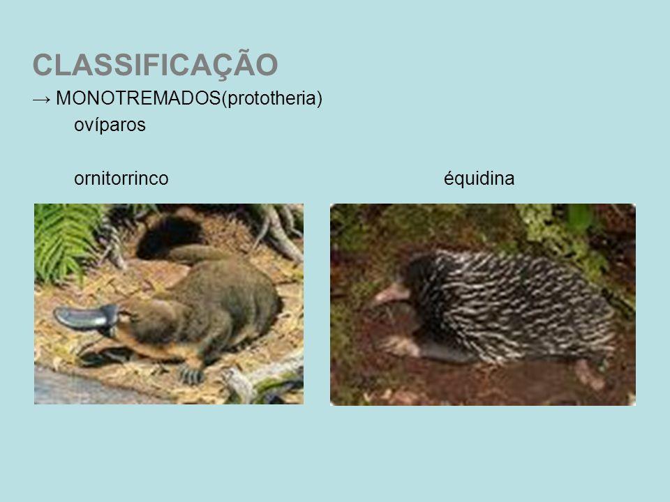 CLASSIFICAÇÃO MONOTREMADOS(prototheria) ovíparos ornitorrinco équidina