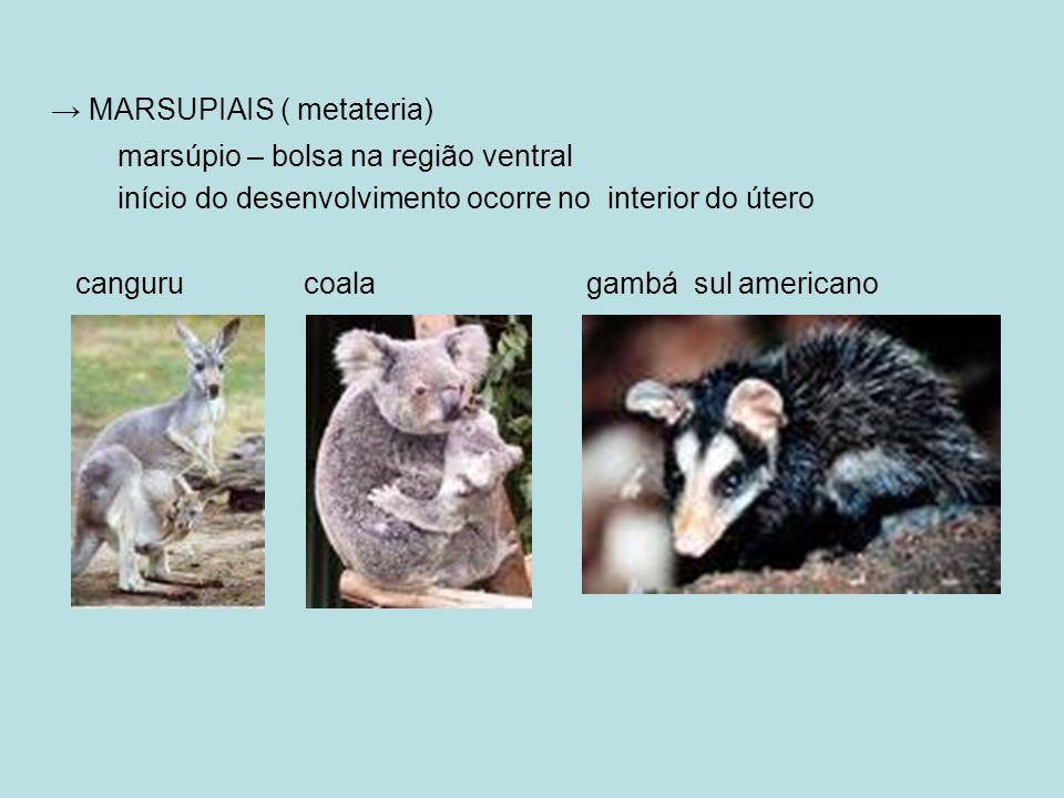 MARSUPIAIS ( metateria) marsúpio – bolsa na região ventral início do desenvolvimento ocorre no interior do útero canguru coala gambá sul americano