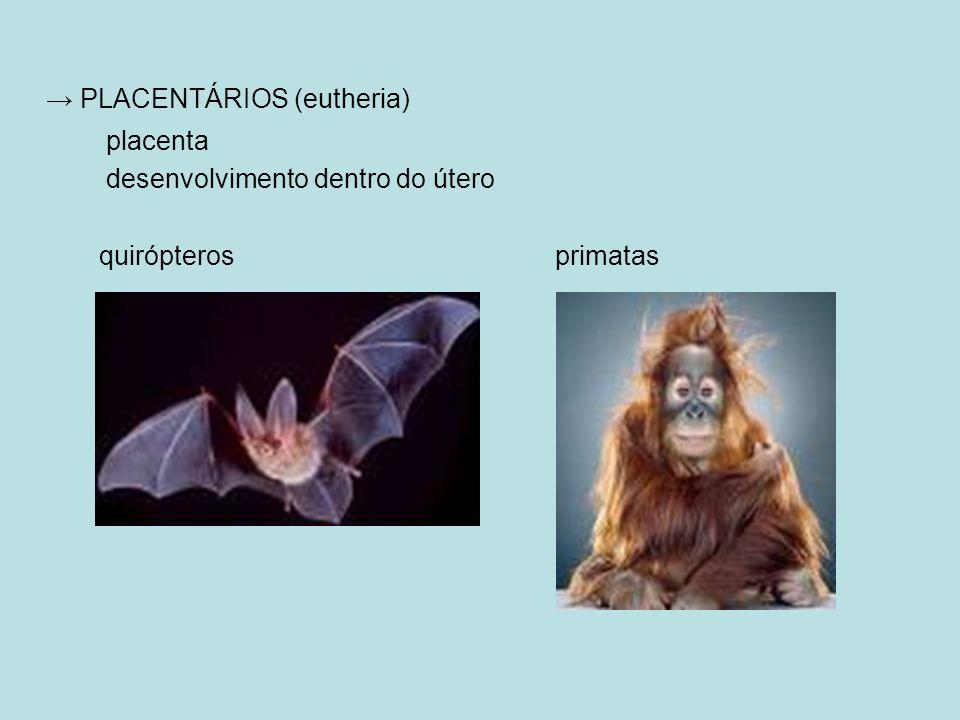 PLACENTÁRIOS (eutheria) placenta desenvolvimento dentro do útero quirópteros primatas
