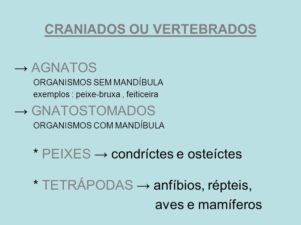 CRANIADOS OU VERTEBRADOS AGNATOS ORGANISMOS SEM MANDÍBULA exemplos : peixe-bruxa, feiticeira GNATOSTOMADOS ORGANISMOS COM MANDÍBULA * PEIXES condrícte