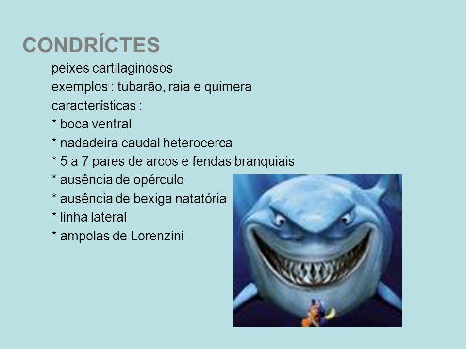 CONDRÍCTES peixes cartilaginosos exemplos : tubarão, raia e quimera características : * boca ventral * nadadeira caudal heterocerca * 5 a 7 pares de a