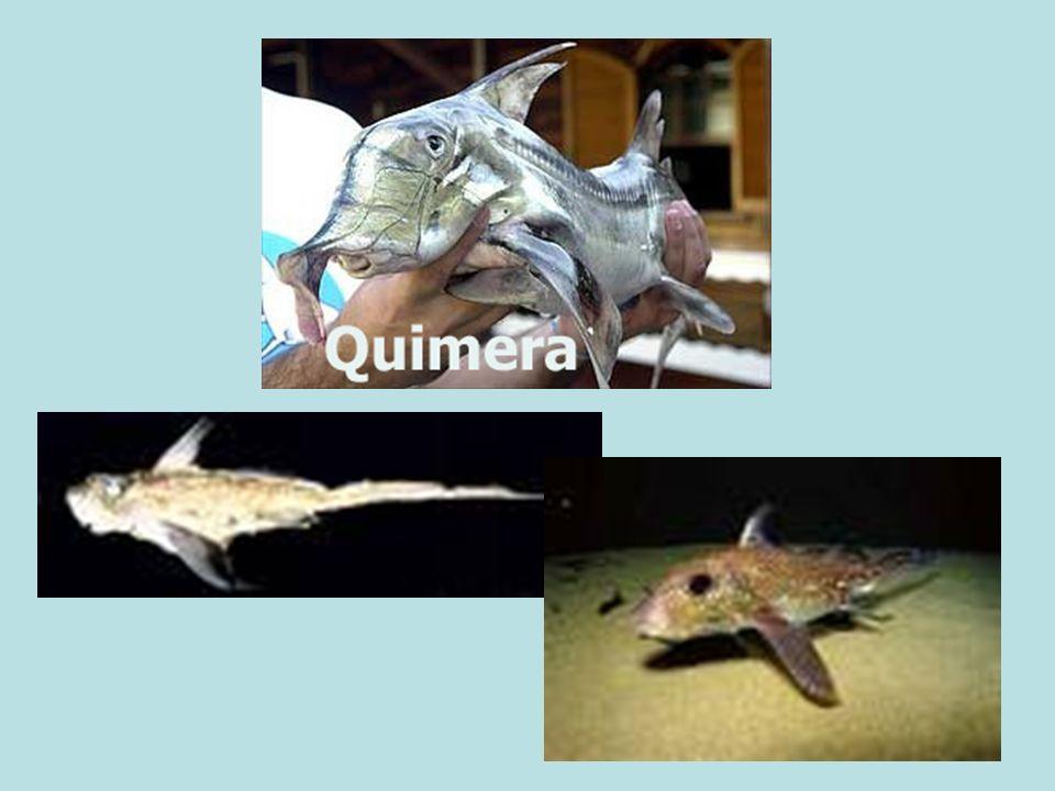 OSTEÍCTES peixes ósseos exemplos : sardinha, bacalhau, garoupa * boca frontal * nadadeira caudal homocerca * 4 pares de arcos branquiais * 1 par de fendas branquiais * opérculo * linha lateral * bexiga natatória - pode ser modificada em um pulmão nos peixes dipinóicos como a pirambóia