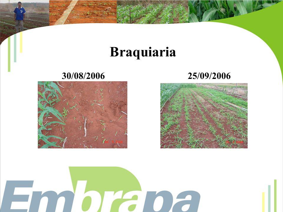 Braquiaria 30/08/200625/09/2006